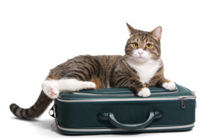 catteries dublin brown cat on suitcase